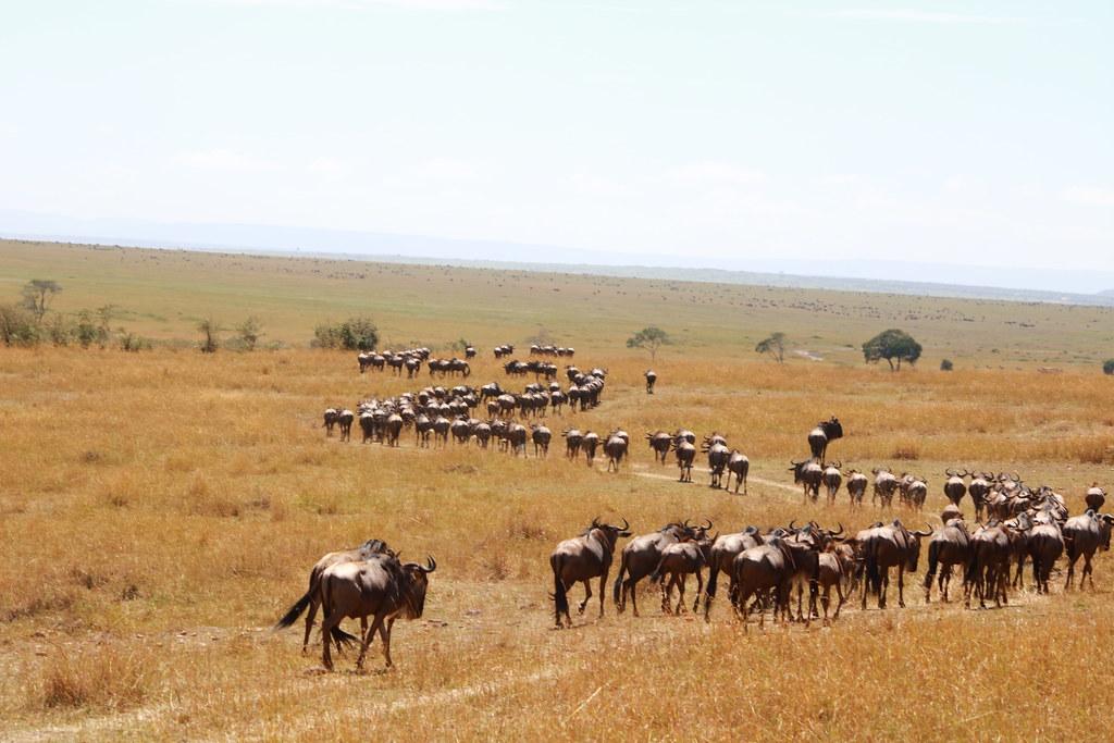 Wildebeest path