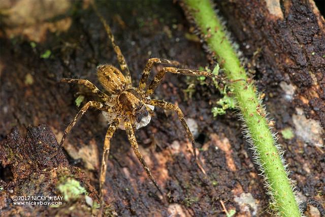 Huntsman spider (Sinopoda sp.) - DSC_8360