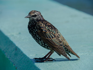 Thieving Starling-E8160223