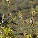 Gray Silky-Flycatcher B296700focF por jvpowell