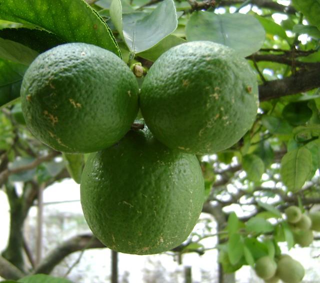 A nutricionista Carla Caratin explica que a melhor maneira de consumir o limão é in natura, logo após partir. - Créditos: Reprodução