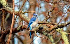 A Blue Jay from my yard. (Long time ago in Spring Hill).