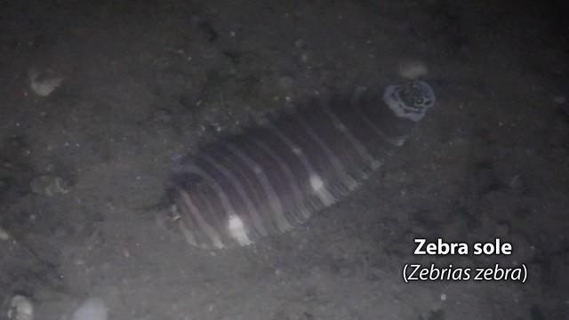 Zebra sole (Zebrias zebra)