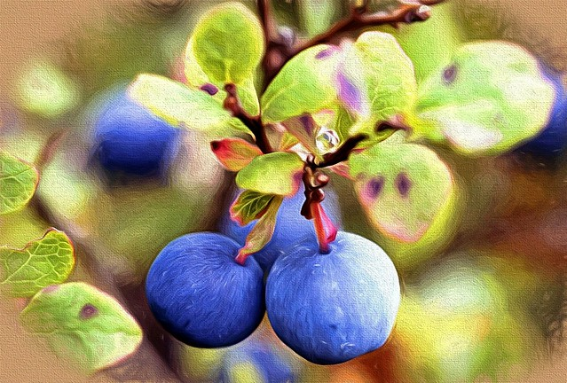 Blueberries - Alaska (Explored)