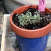 Small photo of Sedum Little Missy Blue Pot