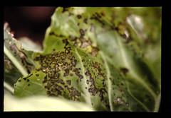 Bact Leaf Spot = キャベツ黒斑細菌病