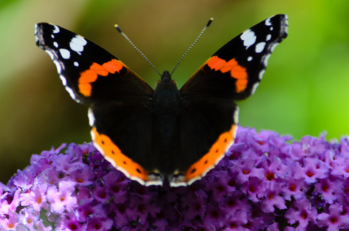 Red admiral butterfly on buddleia flower