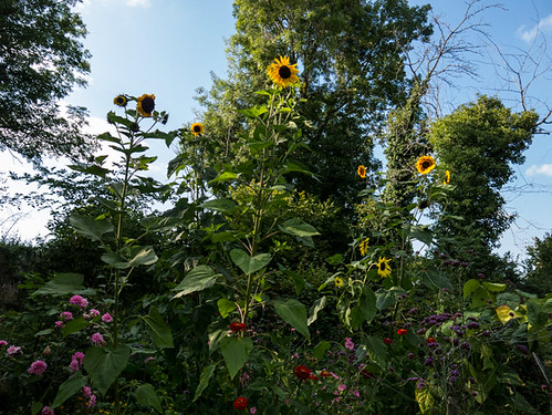 Pole beans, sunflowers and more