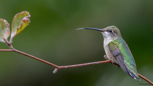 Ruby-throated Hummingbird, Nikon D7100, Tamron SP AF 150-600mm f/5-6.3 VC USD (A011)