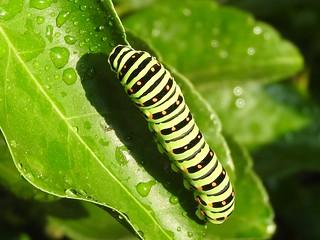 キアゲハの幼虫3
