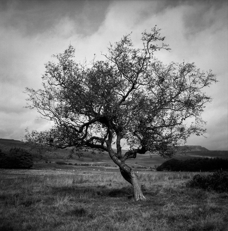 FILM - Rowan tree