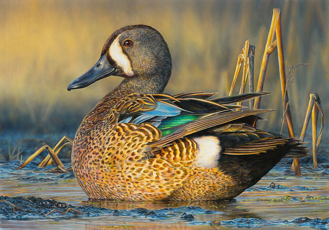 Christine Clayton's oil painting of a blue-winged teal is the third place winner of the 2017 Federal Duck Stamp Art Contest. Credit USFWS.