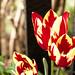 Tulips by J. Bukowski