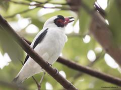 Masked Tityra (Tityra semifasciata) ♂