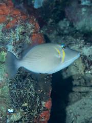 Scythe triggerfish (Sufflamen bursa)