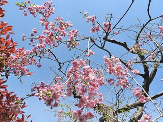 降る桜 3