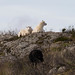 Wild Sheep at Lygra - utegangarsau