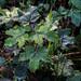 Rain on a sycamore sapling