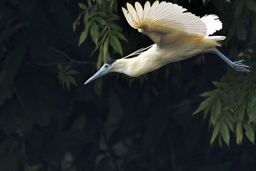 Cristalino area, BR: Capped Heron in Flight