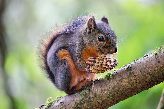 Douglas' Squirrel