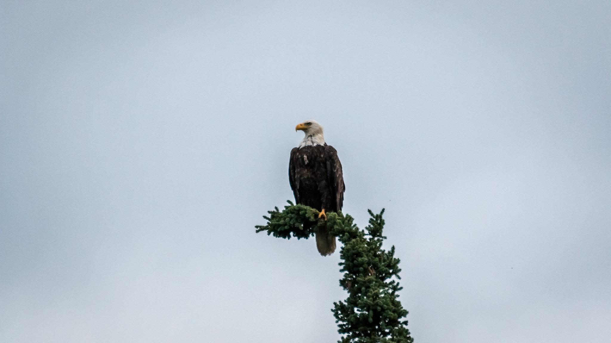 Aigle - Alaska - [USA]