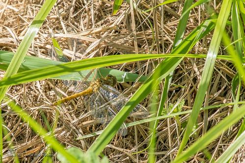 Orthetrum coerulescens, Black tail skimmer, Kleiner Blaupfeil
