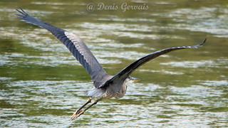 Grand Héron  Great Blue Heron - Ardea herodias