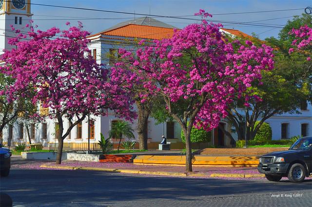 Flores de Lapachos
