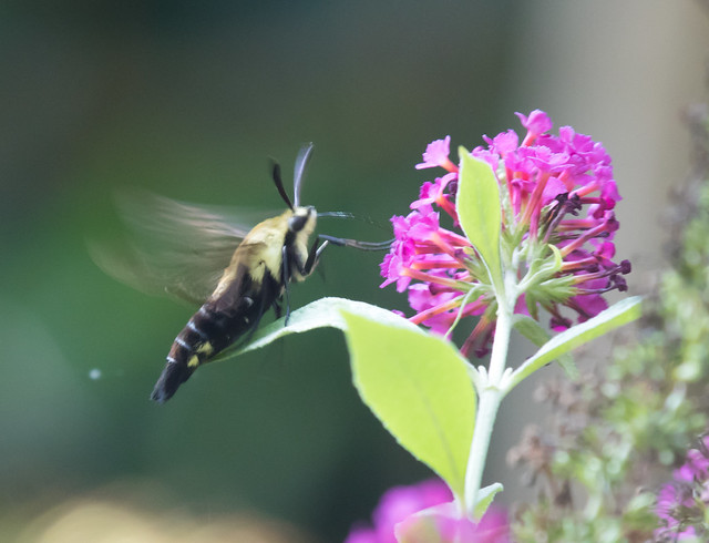 Hummingbird moth (Hemaris diffinis - Snowberry Clearwing Moth)