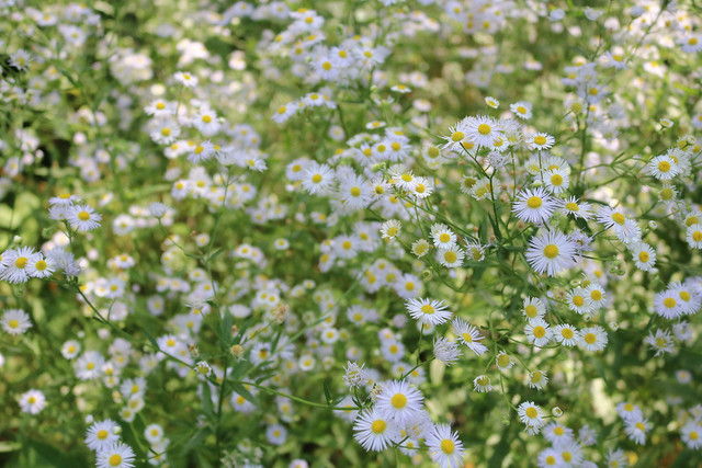 fleabane, zoomed out to where individual flowers are recognizable but there are so many that none are really in focus