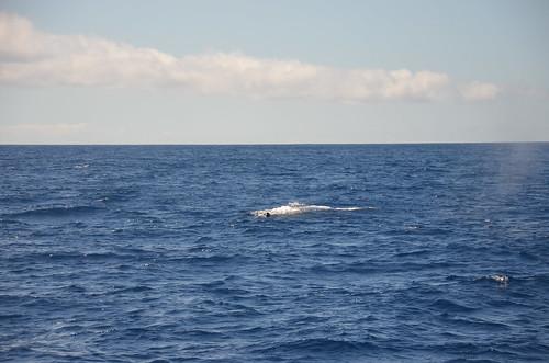 Von einem Boot vor Gomera gesichteter Wal.