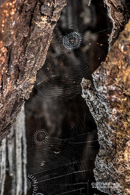Social big-jawed spider (Tetragnathidae) - DSC_8482