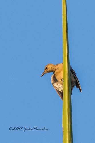 evergladesphotographicsociety birdwatcher redbelliedwoodpecker juvenile greencay