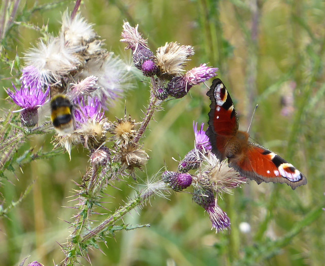 Peacock butterfly on Winfrith Heath
