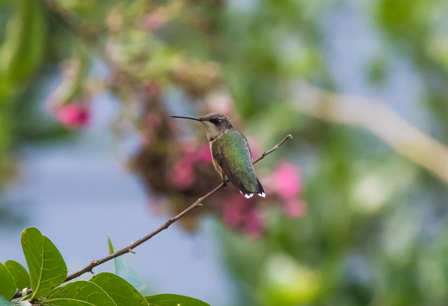 Hummingbird Sittin' in a Tree...
