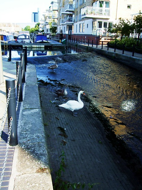 A Swan On The Grand Union Canal In Brentford - London.