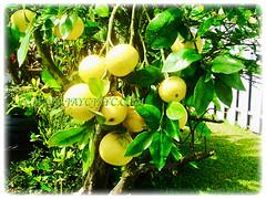 Prolific tree of Citrus x paradisi (Grapefruit, Paradise Citrus) producing bunches of fruits, 14 Aug 2014