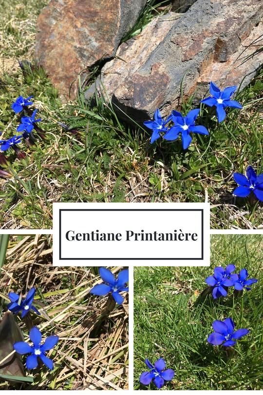 07_Gentiane Printanière
