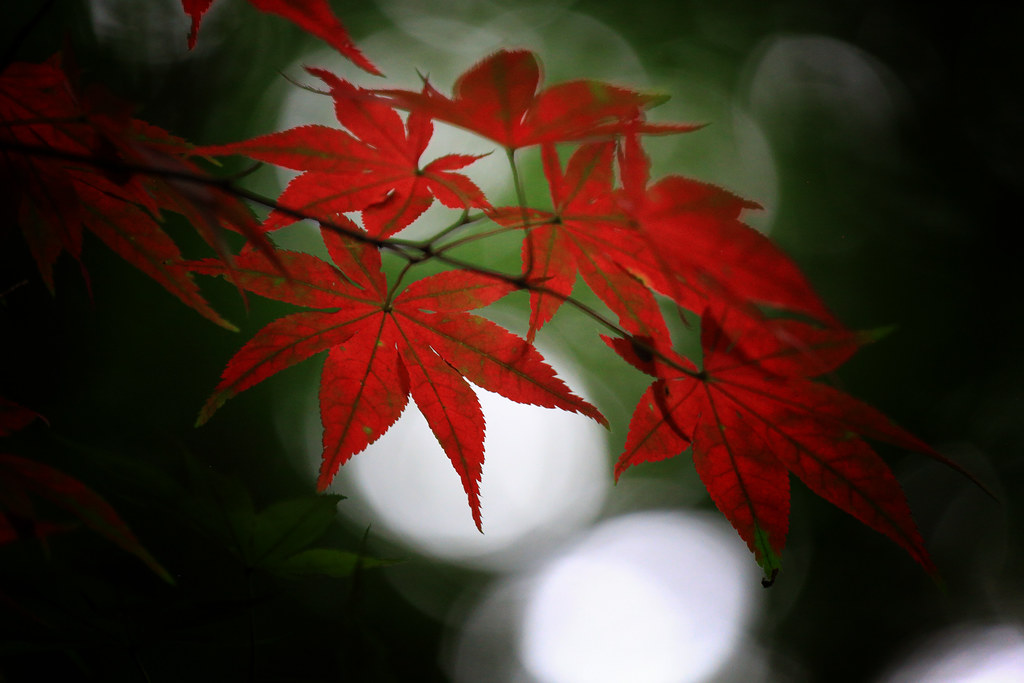 Red Maple In Summer At Heirin-ji Temple