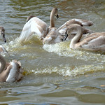 Splashing young swans on a Preston canal