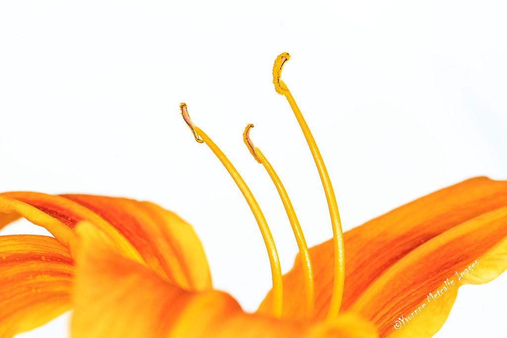 High Key Lily (Explored)