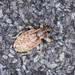 Weevil - Hypera