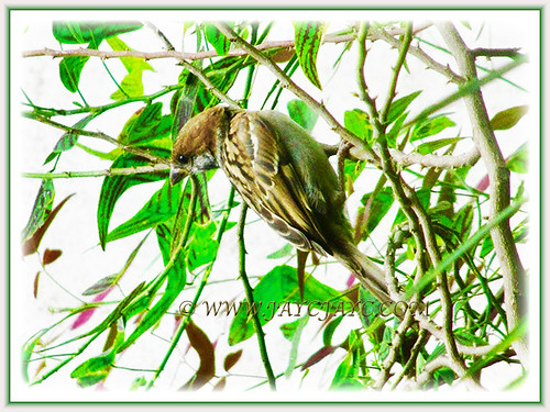 Baby bulbul perched on the lovely Christia obcordata, 25 July 2017