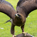 International Birds of Prey Centre (88)
