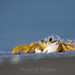 Bubbles the Ghost Crab by tylerareber