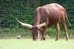 Cerza Zoo - watusi