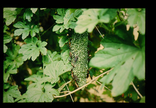 Immigration Of The Adult Of The Bug Into Cucumber Cultivated Fields = ウリ科栽培圃場への成虫飛来