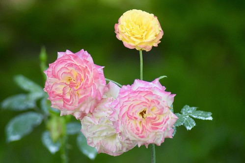 Rosier floribunda / Floribunda rose