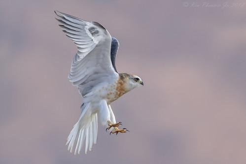 White-tailed Kite Juvenile