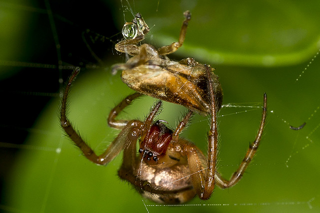 Looks like Zygiella x-notata? (Araneidae) with a meal